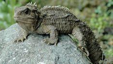 The amazing Tuatara is a lizard endemic to the country of New Zealand. Physiologically, the Tuatara is the most primitive animal of its kind known to man. Reptiles Facts, Les Reptiles, Reptiles And Amphibians, Mammals, Living Fossil, Fun Facts For Kids, Tortoise Turtle, List Of Animals, Animal Facts
