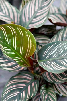 Calathea ornata - The dark green leaves and bright coloured stripes makes this calathea a real stand-out. A popular indoor plant, which also makes a fantastic filler plant to brighten up shady spots in the garden.