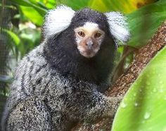 Peanut the Marmoset
