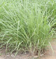 Learn how to grow lemongrass from seed in our detailed online instructions from when to plant lemongrass seeds to transplanting and overwintering plants.