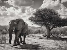 an elephant in Madikwe Game Reserve, South Africa