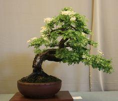 Blooming Hawthorn Bonsai