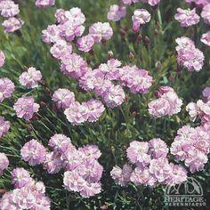 Dianthus gratianopolitanus 'Tiny Rubies'