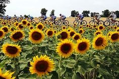 If you're planning a pilgrimage to see stages of next year's race, you'll need as much cunning, patience and timing as the riders, writes Matt Teffer. Whatever Is True, Bicycle Race, Black Eyed Susan, Pilgrimage, Best Memories, Good Times, Sunflowers, Photo Galleries, Tours