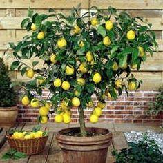 Meyer's Lemon Semi Dwarf
