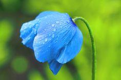 blue poppy feilds | Blue Poppy