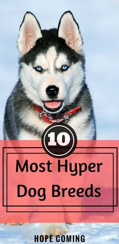 Hyper Dogs can be difficult to manage, you must understand which dog breed will be suitable to your lifestyle, here is the list of 10 most Hyper Dog Breeds. Dog Behavior Explained   Over Excited Dog Breeds   Hyper Dog Breeds   hope-coming.com via @KaufmannsPuppy