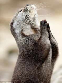 Praying Otter Seeks Help from Higher Power. Looks to me like he's praying. The Otter was photographed at the Whipsnade Zoo outside of London. Cute Baby Animals, Animals And Pets, Funny Animals, Otters Funny, Beautiful Creatures, Animals Beautiful, Beautiful Things, Tier Fotos, All Gods Creatures