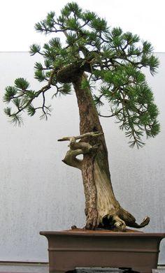 Bonsai: Pine Tree