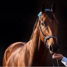 The handsome and sweet American Pharoah just won the Haskell Invitational. Such a phenomenal horse. I get chills every time I watch him race. Praying that he wins the Breeder's Cup Classic in October! I love you Pharoah! All The Pretty Horses, Beautiful Horses, Animals Beautiful, Triple Crown Winners, American Pharoah, Thoroughbred Horse, Clydesdale Horses, Breyer Horses, Sport Of Kings