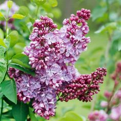 What to Prune When   lilac and forsythia should be pruned late spring - immediately after they finish blooming.  Hydrangeas bloom on old wood. Prune these types of hydrangeas before midsummer. If you prune them in winter or early spring, you'll be removing flower buds