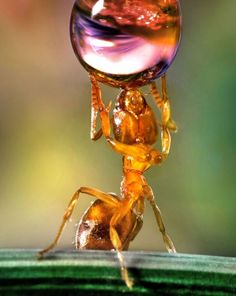 An ant drinks from a water drop...An ant imitates the famous Farnese Atlas sculpture, where Greek god Atlas holds up the weight of the world