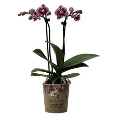 Little kolibri orchid bolivia Orchids, Bolivia, Lilies, Orchid