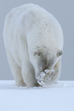 Polar bear with paw on face standing in white snow