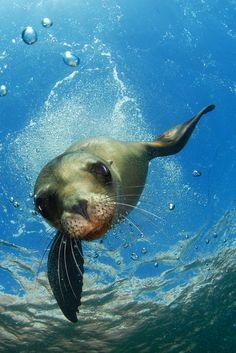 Sea lion pup dives