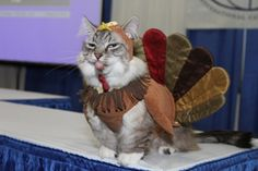 71 Best Thanksgiving And Cats Images Funny Animals Cut Animals