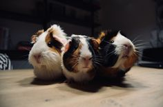 We're always in need of more DIY guinea pig cage ideas. My little boy loves Burt, his guinea pig (or cavy as some people call the cute critters). Naturally, he wants him to have the most magn… Guinea Pig Run, Diy Guinea Pig Cage, Guinea Pig Breeding, Guinea Pig House, Baby Guinea Pigs, Farm Animals, Animals And Pets, Cute Animals, Happy Animals