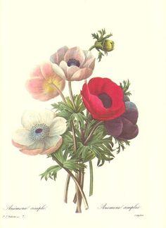 Redoute Botanical Print #007 Anenomies #Vintage
