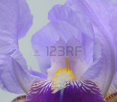 Blue Iris flower Close up Stock Photo