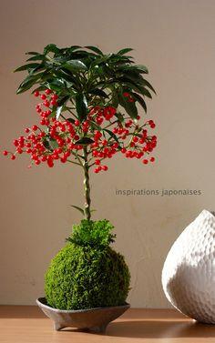 "Composition kokedama Ardisia et Sélagine par ""inspirations japonaises"" www.kokedama-seguda"