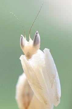 Iris- orchid mantis
