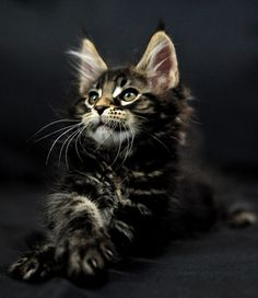 Maine Coon - This looks like my Taz when he was a kitten. I want another maine coon. Chat Maine Coon, Maine Coon Kittens, Cats And Kittens, Pretty Cats, Beautiful Cats, Animals Beautiful, Cute Animals, Pretty Kitty, I Love Cats