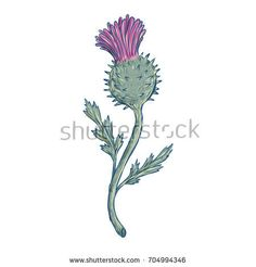 Drawing sketch style illustration of Scottish Thistle, a flowering plant with sharp prickles in the family Asteraceae on isolated background. Drawing Sketches, Art Drawings, Drawing Art, Thistle Tattoo, Scottish Thistle, Framed Prints, Art Prints, Freelance Illustrator, Planting Flowers