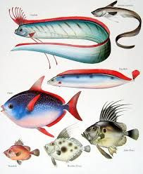 Image result for oarfish