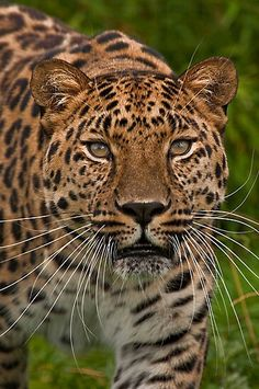 Jaguar (or Leopard) lol to be honest, I am not sure.