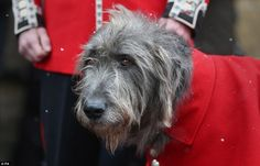 Wolfhound Domhnall - the regiment's longest serving mascot since 1985 - had been doing tes...