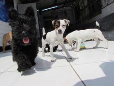 Solsitoo! Scotish terrier y losJack russell