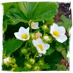 Mitt liv som Toril :o): Jordbær i vente Plants, Plant, Planets