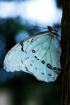 "dontcallmebetty: "" White Morpho Butterfly (Morpho Polyphemus) (von tropicalart77) """