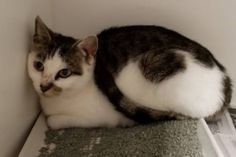 Fundraiser by Ruin Creek Animal Protection Society of Henderson NC : JAZZY'S TICKET TO RIDE Pretty Animals, Cute Baby Animals, Animals And Pets, Funny Animals, Cute Cats And Kittens, Kittens Cutest, Funny Animal Pictures, Beautiful Cats, Animals