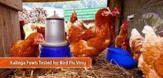 Kalinga Fowls Tested for Bird Flu Virus Bird Flu Virus, Poultry, Backyard Chickens