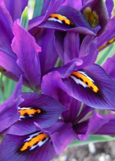 Love these..siberian iris..they bloom over and over..smaller than reg. Iris..grow in bunches..
