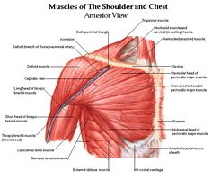 Shoulder muscles and chest - human anatomy diagram