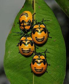 Shield Bug Nymphs