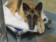 SUPER URGENT 10/22/15 Brooklyn Center  My name is SHEILA. My Animal ID # is A1055044. I am a spayed female tan and black germ shepherd mix. The shelter thinks I am about 10 YEARS old.  I came in the shelter as a OWNER SUR on 10/16/2015 from OUT OF NYC, owner surrender reason stated was PERS PROB. I came in with Group/Litter #K15-036238. SAFE