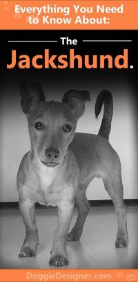 Jackshund Jack Russell Terrier Dachshund Mix Info Pictures