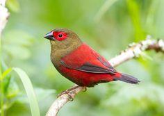 Red-faced Crimsonwing(Cryptospiza reichenovii)