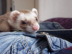Suki Sees You #Ferrets