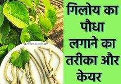 Gutter Garden, Daily Health Tips, Vegetable Gardening, Green Beans, Benefit, Seeds, Quilt, Vegetables, Flower