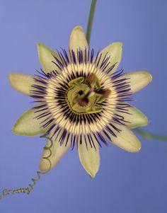 Passiflora 'Blue Crown' by Ron van Dongen
