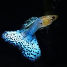 What is a gravid spot on a female guppy? - Answers.com