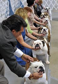 Can the Bulldog Be Saved? (Support the Leavitt Bulldog and Old English Bulldogge!)