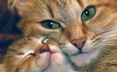 Twee rode katten met groene ogen