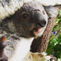 I am in love with this little boy. Watching him grow makes me so joyful :) #cuteanimalselfie #koala #joey #queensland #australia #goldcoast #beautiful #iminlove #imisshim #cuteanimals #currumbinwildlifesanctuary #conservation #conservationphotography #photography #wannatakeaselfie by cute_animal_selfies http://ift.tt/1X9mXhV