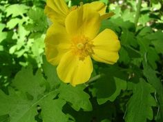 Care Of Celandine Poppy: Can You Grow Celandine Poppies In The Garden - Wildflowers are a great way to enjoy natural plants and the beauty they offer. This is especially true of celandine poppy wildflowers. Read this article to learn about celandine poppy info.