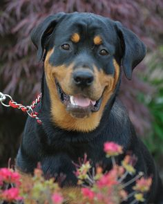 Rottweilers so beautiful